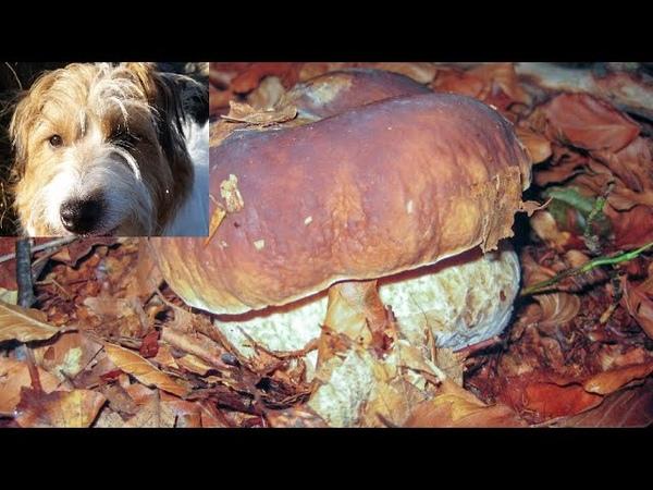 Bellissimi funghi Porcini raccolti nel parco dei cento Laghi con Pedro