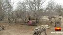 Взаимодействие 20 ти полосатых гиен и самца льва