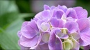 [4K] 2018年06月13日 善峯寺 紫陽花 Yoshimine-dera Hydrangea macrophylla (Kyoto, Japan)