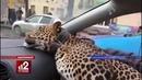 Леопарду требуются девушки для фотосессии!