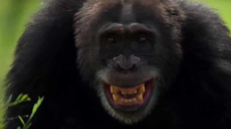 Chimpanzees Attack Young Male Life Story BBC