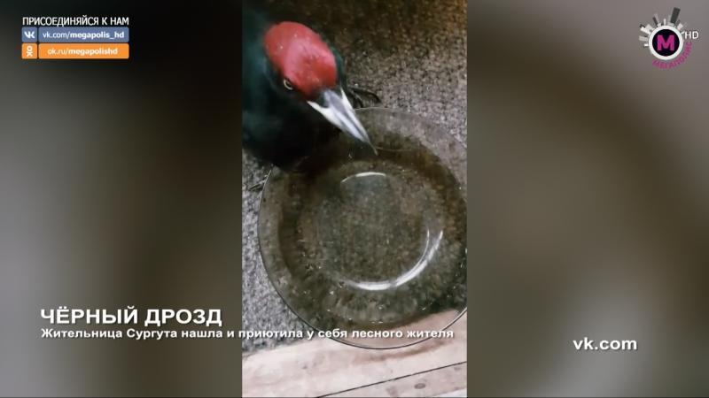 Мегаполис Чёрный дрозд Сургут