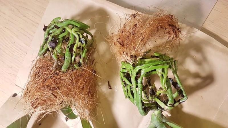 Убийца орхидей найден! Один из. Разговор о корневой системе и частых заблуждениях.