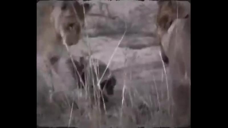Медоеды против львов honey badger vs Lions