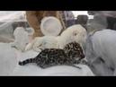 ПРЕЗЕНТАЦИЯ самых редких кошек на земле .рожденных в Парке Львов Тайган !Часть 3 Крым