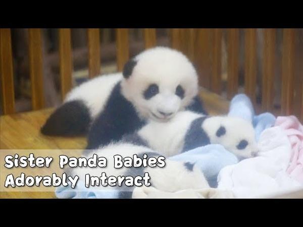 Big Lan Meng And Small Run Jiu Adorably Interact | iPanda