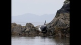 After This Orca Got Stranded, She Lay Crying For Hours But How Rescuers Responded Incredible