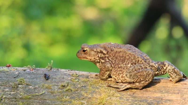 Жаба. Процесс охоты