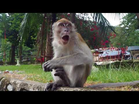 Crab-eating macaque in Bukit Lawang. Indonesia