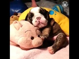 DOGS AND PUPPIES THAT LOVE THEIR STUFFED ANIMALS