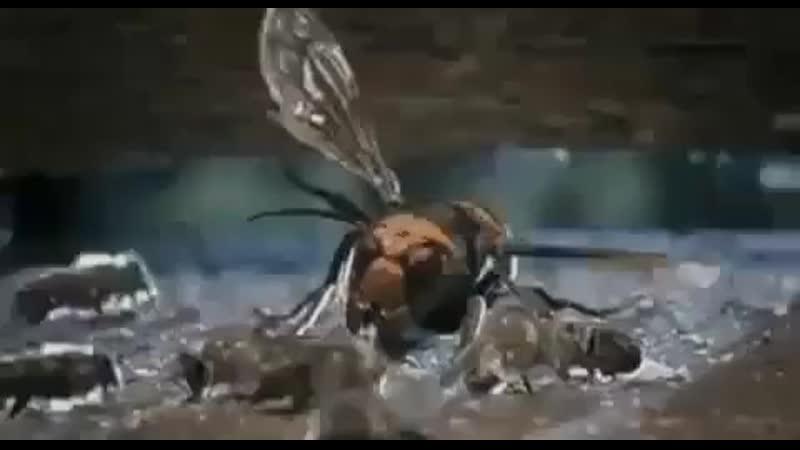 ️İstilacı dev eşek arısı bal arılarının kovanını işaretlemeye gelir - ️Eşek arısının deris.mp4