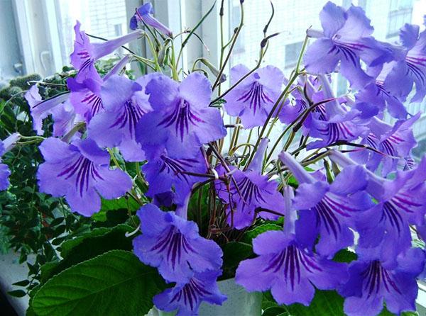 Стрептокарпус Стрептокарпусы - травянистые многолетние цветущие комнатные растения. Листья стрептокарпусов: длиной 2 35 см, опадающие, продолговатые, матовые, зеленые, гофрированные, покрытые