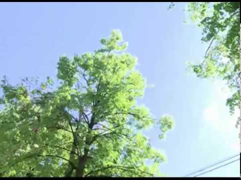 В Ярославле спиливают аварийные деревья и ветки