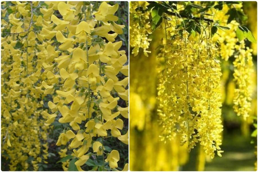 Самые эффектные кустарники, цветущие весной, часть 2 - Бобовник
