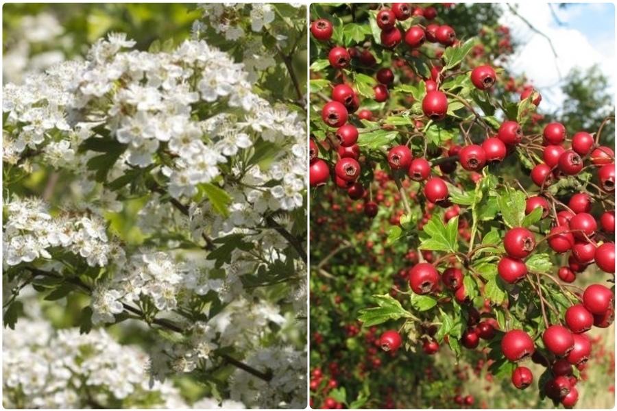 Самые эффектные кустарники, цветущие весной, часть 2 - Боярышник