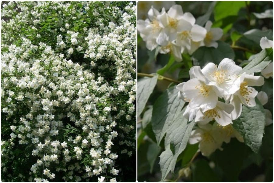 Самые эффектные кустарники, цветущие весной, часть 2 - Жасмин (чубушник)