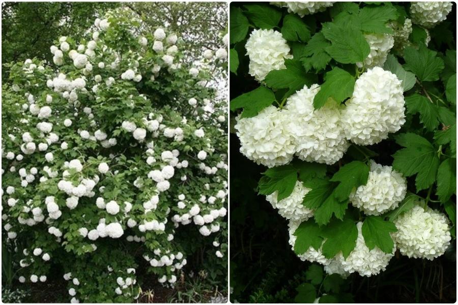 Самые эффектные кустарники, цветущие весной, часть 2 - Калина бульдонеж