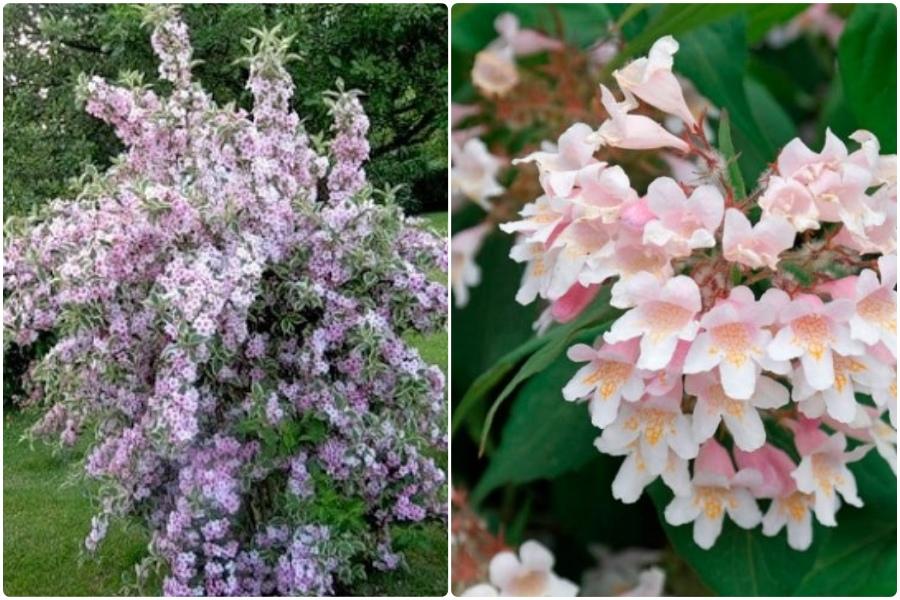 Самые эффектные кустарники, цветущие весной, часть 2 - Кольквиция прелестная
