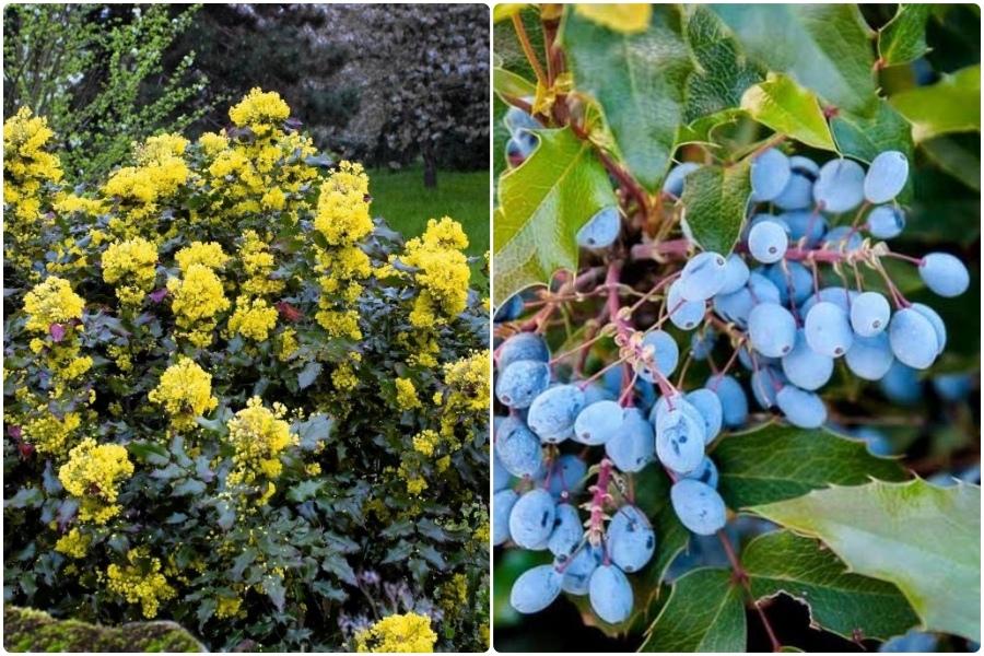 Самые эффектные кустарники, цветущие весной, часть 2 - Магония падуболистная