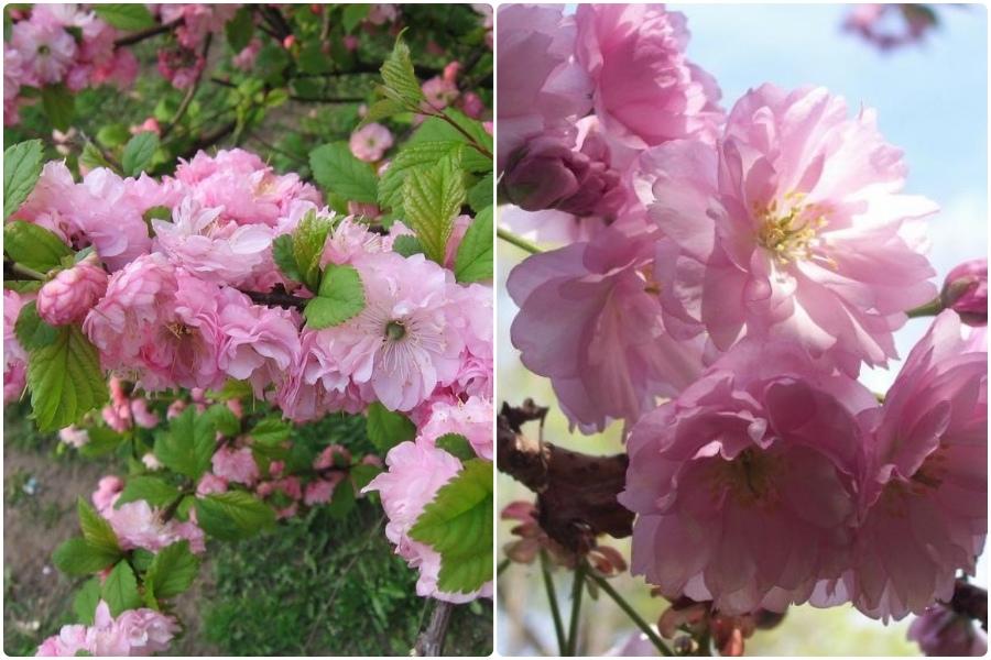 Самые эффектные кустарники, цветущие весной, часть 2 - Миндаль степной (бобовник)