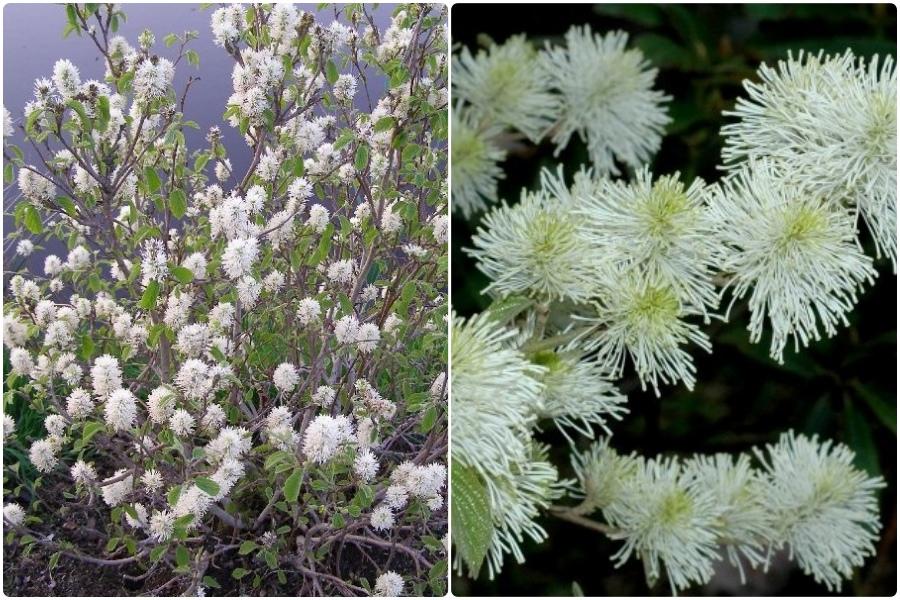 Самые эффектные кустарники, цветущие весной, часть 2 - Фотергилла крупная