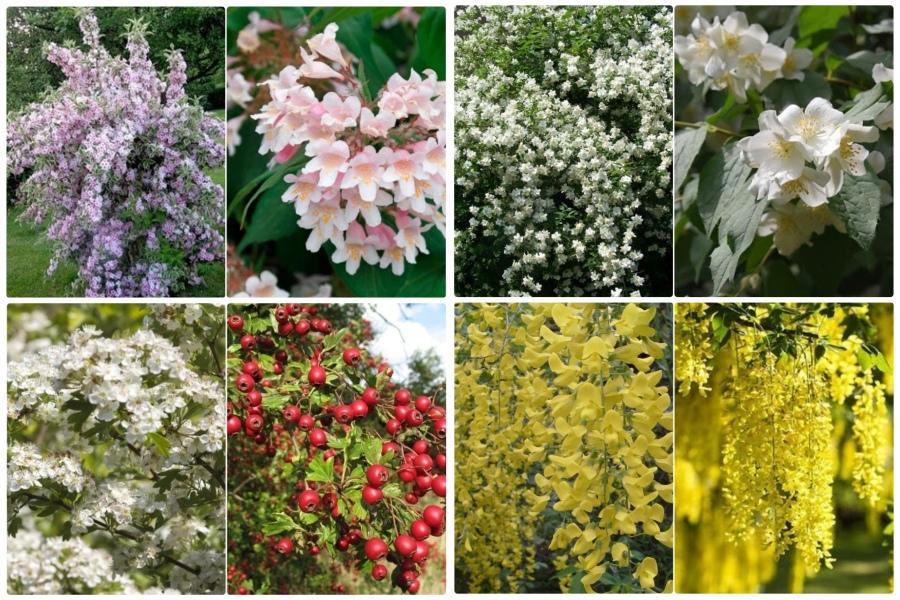 Самые эффектные кустарники, цветущие весной, часть 2