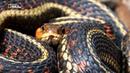 National Geographic: Прирождённые монстры. Тигровая змея (2015) HD 1080