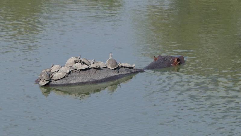 Kruger 4K - Hippo Terrapin