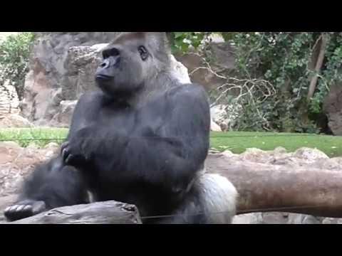 горилла, парк лоро, Тенерифе, Испания Gorilla Loro Park - Mannequin