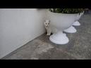 Белая кошка Энигма пошла погулять.