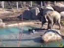 Слоненок vs. разъяренный гусь