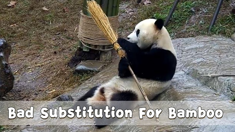 Bad Substitution For Bamboo | iPanda