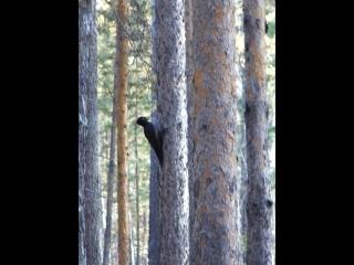 самый крупный из дятлов, чёрный дятел (желнА)