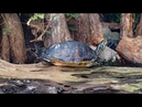 Ask the Aquarium — Why Do Your Turtles Stretch Out Their Legs?