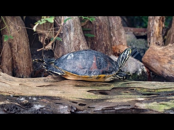 Ask the Aquarium — Why Do Your Turtles Stretch Out Their Legs