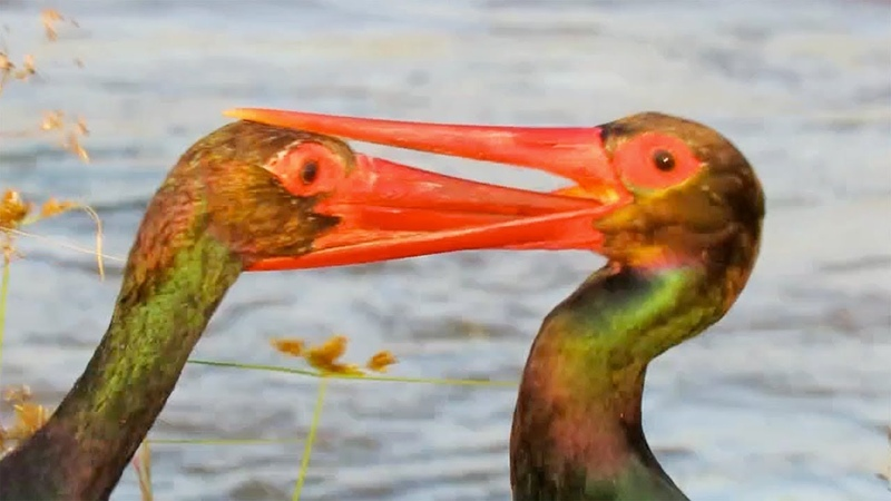 Stork's Beak Gets Stuck in the Other's Throat