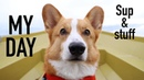 DOG SUPPING (MY DAY) - Topi the Corgi