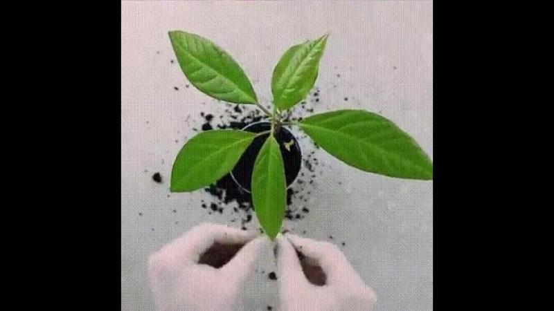 Как вырастить авокадо......