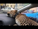 Leopard Takes a Taxi ViralHog