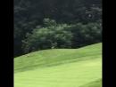 Лиса отобрала мяч у гольфиста