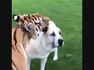 Тигр и пёс (VHS Video)