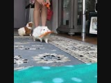 guinea pigs running