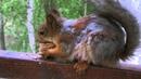 The squirrel and a walnut Белка Соня и грецкий орех