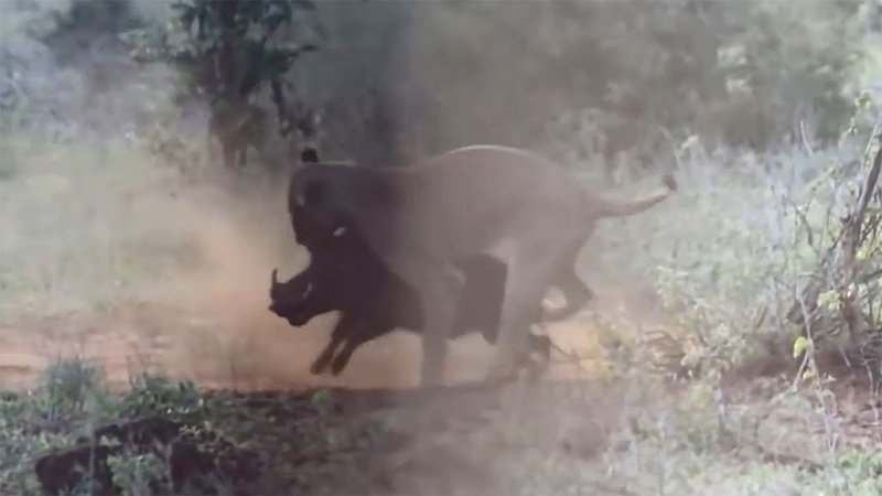 Lion Encountered A Lot Of Difficulties To Defeat A Wild Boar! Lion vs Wild Boar - Wild Animals 2018
