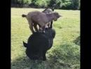 Мама рассказывала Козы могут ходить по отвесным скалам Чем тебе не гора Давай тренироваться