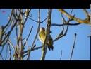 Зелёный дятел (нем. Grünspecht) (анг. Green Woodpecker)