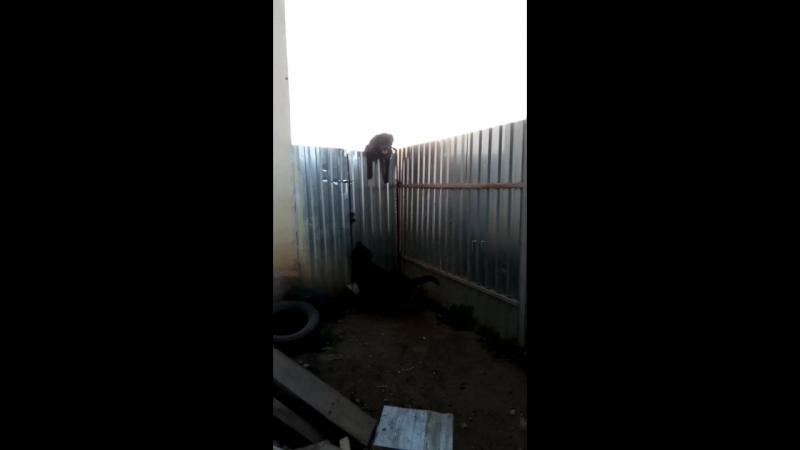 ротвейлер учиться лазить по забору