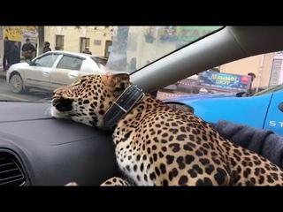 Большую кошку подвезти не желаете?
