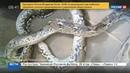 Новости на Россия 24 Найденного в Москве питона передали Московскому зоопарку