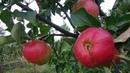 Один из вариантов использования упавших яблок.